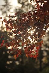 Sun through autumn leafs