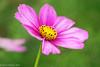 Cosmos (David S Wilson) Tags: uk flowers england flower nikon ely fens 2014 flowersplants nikon1 davidswilson lightroom5 micronikkor40mmf28lens