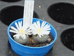 DSCF0399 (BobTravels) Tags: plant stone bob lithops lithop messem bobwitney
