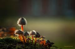 Pilze - Mushrooms - The time is gone . . . (Pana53) Tags: photographedbypana53 pana53 mushrooms pilze fungi lichtschatten naturportrait winzlinge akademiefürnaturschutz schneverdingen niedersachsen nikon nikond5000 makro lüneburgerheide therubyawardsinvitation outdoor schärfentiefe tiefenschärfe zersetzung