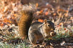 A squirrel gathers up acorns on the ground.