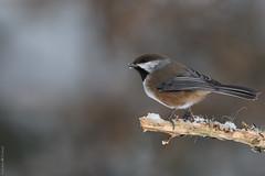 Mésange à tête brune / Boreal Chickadee (Sylvain Prince) Tags: poecilehudsonicus