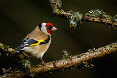 Goldfinch (Explored 12 February 2017) (ABPhotosUK) Tags: animals birds canon cardueliscarduelis dartmoor devon ef14xextenderiii ef100400mmisii eos7dmarkii finches fringillidae garden goldfinch seasons teleconverter wildlife winter