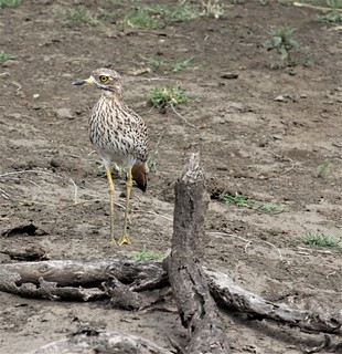 IMG_5011a - Spotted Thick-knee (Burhinus capensis), Ndutu Preserve, Tanzania - GPS #386