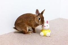 Ichigo san 639 (Ichigo Miyama) Tags: いちごさん。うさぎ rabbit bunny netherlanddwarf brown ichigo ネザーランドドワーフ ペット いちご うさぎ