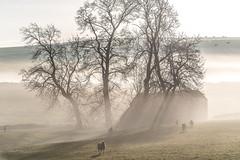 Feeding Time (JamesPicture) Tags: hartington mist peakdistrict derbyshire barn sheep