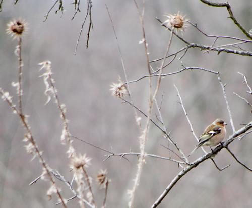 Зяблик / Fringilla coelebs / Common chaffinch / Обикновена чинка / Buchfink