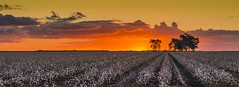 cotton fields (andrew.walker28) Tags: sunset cotton farm farmland yellow orange evening sundown jondaryan queensland australia