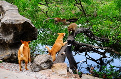 ,, Flying Monkeys ,, (Jon in Thailand) Tags: jungle dogs k9 k9s dog mama legs rocky alphamonkey crazedprimate monkey flyingmonkey primates nikon d300 swamp reflection nikkor 175528 sabrerattling trees boulder littledoglaughedstories