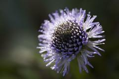 Pourpre (Doriane Boilly Photographie Nature) Tags: fleur flowers macro extérieur nature prairies champs pourpre printemps petite sigma 150 mn