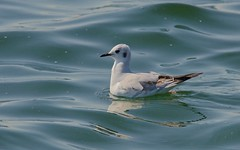 Bonaparte's Gull..a very rare north American gull,taken at Farmoor reservoir in oxfordshire.. (stanley.ashbourne) Tags: bonapartesgull nikond7100 gull bird farmoor oxfordshire