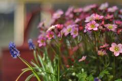 auf Balkonien - on my balcony (nirak68) Tags: lübeck schleswigholsteinkreisfreiehansestadtlübeck deutschland ger 099365 traubenhyazinthe muscari spargelgewächse asparagaceae perlhyazinthe moossteinbrech rosenzwerg saxifragaxarendsii bokeh geländer balkon 2017ckarinslinsede 7dwf