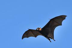 JRD_4087web (bunka1) Tags: bat fruitbat flyingfox australia