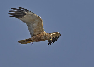 Marsh Harrier (Male) - Golden beauty with the killer eye's