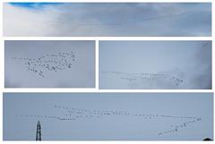 Gru (Grus grus) - Cranes  (explored) (Carla@) Tags: gru grusgrus cranes birds oiseaux wildlife nature liguria italia europa mfcc canon fabuleuse