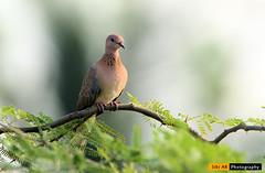 Laughing dove - CBE (sibi ar ( I'm BACK :)) Tags: spilopeliasenegalensis laughingdove india tamilnadu coimbatore pigeon longtailed littlebrowndove palmdove senegaldove
