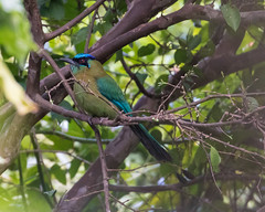 Lesson's Motmot (J.B. Churchill) Tags: birds costarica heredia hotelbougainvillea lemo lessonsmotmot motmots places taxonomy santodomingo cr