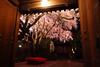 光徳寺のしだれ桜(京都の夜桜シリーズその6)