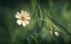 Greater Stichwort (aj_nicolson) Tags: closeup greaterstitchwort starofbethlehem stellariaholostea flower greass green nature outdoors white whiteflower wildflower woodland appicoftheweek