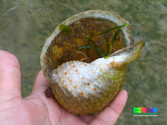 Tun shell snail (Family Tonnidae) (wildsingapore) Tags: cyrene gastropoda mollusca tonnidae island singapore marine coastal intertidal shore seashore marinelife nature wildlife underwater wildsingapore