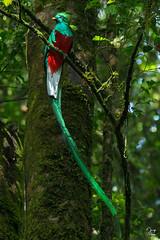 Resplendent Quetzal -  Pharomachrus mocinno (Jorge De Silva R) Tags: pharomachrus mocinno resplendent quetzal reserva de la biosfera el triunfo chiapasmexico avesdechiapas