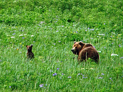 brown bear in the grasslands at cape kambal'nyy, kamchatka 7 (Russell Scott Images) Tags: cape mys kambal'nyy kamchatkapeninsula russianfareast russia kamchatkabrownbearursusarctossspberingianus cub
