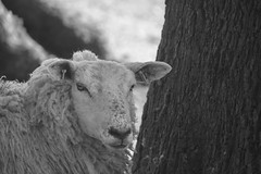 Baaing Up The Wrong Tree (eskayfoto) Tags: canon eos 700d t5i rebel canon700d canoneos700d rebelt5i canonrebelt5i monochrome mono bw blackandwhite sk201703279204editlr sk201703279204 lightroom sheep tree baa bark animal alderleyedge cheshire