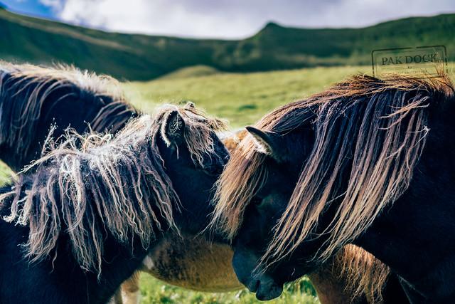 Horses in Kalsoy - Faroe Islands