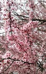 Plum blossoms (Djspaper) Tags: plumblossoms blossoms