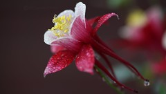 ancolie du jardin (jacquescornet44) Tags: fleur flower nature ancolie gouttelettes eau waterdroplet couleurs color