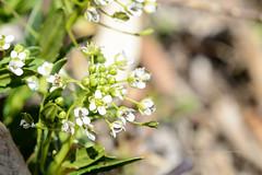 냉이 / Capsella (Daegeon Shin) Tags: capsella 냉이 nikon d4 nikkor 55mm 55mmf28 macro wilflowedr florsilvestre dof flower flor bokeh spring primavera 니콘 니콘렌즈 야생화 꽃 봄 심도 보케 빛망울