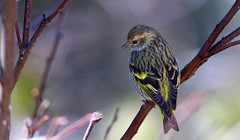 Pine Siskin in the branches (rmikulec) Tags: pine siskin animal birds wildlife wild nature photograph pics algonquin provincial park winter migration