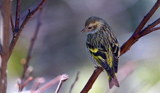 Pine Siskin in the branches