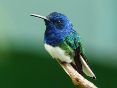 White-necked Jacobin, Asa Wright Nature Centre, Trinidad (annkelliott) Tags: trinidad island caribbean west indies asawrightnaturecentre nature ornithology avian bird birds hummingbird whiteneckedjacobin florisugamellivora greatjacobin collaredhummingbird male closeup frontsideview perched branch bokeh rainforest outdoor 17march2017 fz200 fz2004 annkelliott anneelliott ©anneelliott2017 ©allrightsreserved