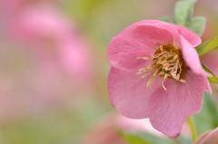 "hellebores, ""sakura pink"" (snowshoe hare*) Tags: hellebores helleborus lentenrose flowers sakurapink botanicalgarden クリスマスローズ レンテンローズ さくらピンク 海の中道海浜公園 dsc0093"