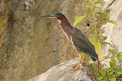 Green Heron - Butorides virescens (Roger Wasley) Tags: west indies caribbean tropical neotropical wild bird green heron butorides virescens puerto rico