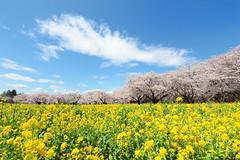 桜と菜の花 (* Yumi *) Tags: 桜 菜の花 昭和記念公園 sakura landscape