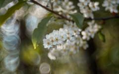 Padus vulgaris (ursulamller900) Tags: padus traubenkirsche dia bokeh white spring springtime springflower