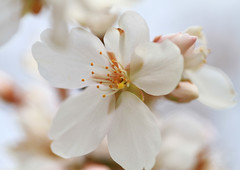 Cherry Blossoms (` Toshio ') Tags: toshio cherryblossoms cherryblossom bloom flower nature stamen petals macro flowers