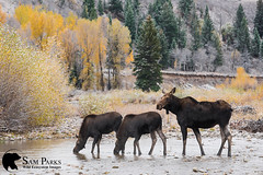 MO353 (Sam Parks Photography) Tags: alcesalcesshirasi gtnp gye grandtetonnationalpark greateryellowstoneecosystem jacksonhole nps northamerica parkservice river rockies rockymountains shirasmoose tetonrange usa unitedstatesofamerica wyoming animal autumn baby biggame breedingseason calves cervid cervidae cervine cottonwoodtrees cow creek cross crossing drink drinking environmental fall fallcolor female foliage ford fording habitat herbivore herbivorous hoof hoofedmammal hooved hooves horizontalorientation juvenile lake landscape large mammal matingseason meadow nature offspring pond rut rutting stream twins ungulate valley wade wading water wide wild wildlife woods young