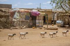 Somaliland_Mar17_0289 (GeorginaGoodwin) Tags: georginagoodwingeorginagoodwinimageskenyakenyaphotojournalistkenyanphotojournalist kenyaphotographer eastafricaphotographer kenyaphotojournalist femalephotographer idps refugees portraits portraitphotographer canon canon5dmarkiii canonphotos drought famine somalia somaliland malnutrition foodsecurity donorfunding aid foodaid wash health sanitation hornofafrica