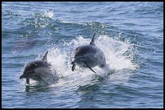 Common Dolphins (KRIV Photos) Tags: california commondolphin danapoint dolphin animal marine
