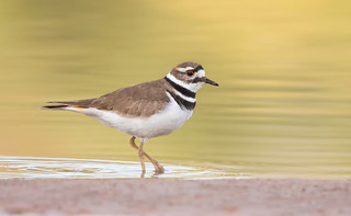 Killdeer Gilbert water ranch az