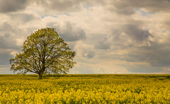 Rapeseed Tree (andyk11) Tags: landscape tree rapeseed clouds field yellow andyknowles spring dorset