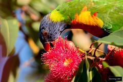 Rainbow Lorikeet (Trichoglossus haematodus) (Dave 2x) Tags: trichoglossushaematodus trichoglossus haematodus rainbowlorikeet rainbow lorikeet kingspark perth westernaustralia australia introduced feral leastconcern