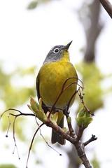 Nashville warbler (jlcummins - Washington State) Tags: nashvillewarbler yakimacounty washingtonstate bird canon tamronsp150600mmf563divcusd