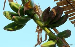 Musa sp - Fruto (Landahlauts) Tags: andalucia banana bananadwarfcavendish bananatree banano blume calahonda cambur comarcadelacostatropical costadegranada costatropical flor flower fujifilmfujinonxc1650mmf3556oisii fujifilmxa2 guineo liliopsida maduro magnoliophyta motril musa musaacuminata musabalbisiana musacavendishii musaparadisiaca musaxparadisiaca musaceae plant planta plantae plantano platanera platano topocho zingiberales costatropicaldegranada