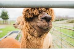 medina-7737 (FarFlungTravels) Tags: alpaca animal farm medinacounty onefineday shear wool