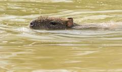 Capybara enjoying the water-6 (tiger3663) Tags: capybara water enjoying yorkshire wildlife park