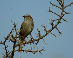 Heckenbraunelle (binaryCoco) Tags: vogel bird tier animal frühling spring prunella modularis prunellamodularis heckenbraunelle dunnock